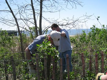 Removal of invasive plant species at Walnut Beach